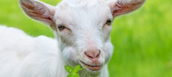 изображение козы