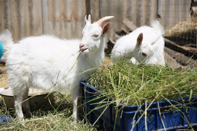 изображение коз